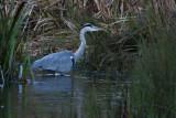 Grey Heron, Gråhegre