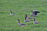 The Greylag Goose. Grågås