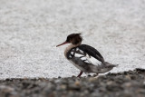 Red-breasted Merganser, male. Siland