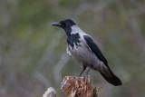 Crow. Kråke