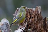 European Greenfinch. Grønnfink