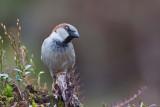 Sparrow, Male. Spurv