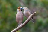 Hawfinch. Kjernebiter