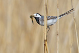 White Wagtail. Linerle