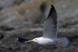 Common Gull. Fiskemåke