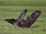 Common Buzzard. Musvåk