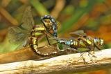 Dragonflies of Norway. Norske Øyenstikkere