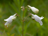 Beardtongue