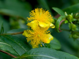 Shrubby St. Johnswort