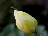 Damselfly on American Lotus Bud