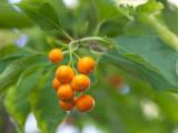 Bittersweet Fruit