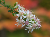 Calico Aster with Raindrops