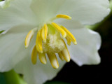 Mayapple Close-up