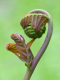 Royal Fern Fertile Frond Unfolding
