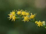 Sharp-leaved Goldenrod
