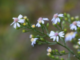 Arrow-leaved Aster