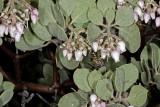 Mexican Manzanita (Arctostaphylos pungens)