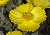 Bush Poppy (Dendromecon ridgda)