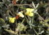 Deer Weed (Lotus scoparius)