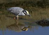 Yelllow-crowned Night Heron