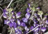 Snapdragon -like flower