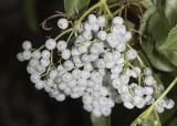 Elderberry - fruits (Sambucus mexicana)
