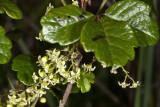 Poison-Oak (Toxicodendron diversilobum)