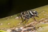 Jumping spider  (Metaphidippus sp.)