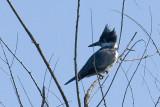 belted-kingfisher13.jpg