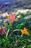 Again, lillies