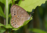 EYED BROWN (Lethe eurydice)