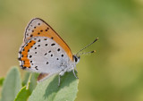 BRONZE COPPER  (Lycaena hylius)