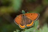 Bronze Copper (Lycaena hylius) photos of males