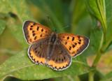 Bronze Copper (Lycaena hylius) photos of females