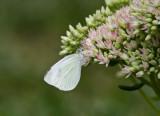 Cabbage White female _MG_9545.jpg
