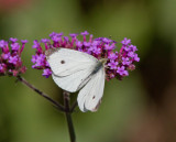 Cabbage White male_MG_0051.jpg