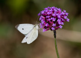 Cabbage White male_MG_0054.jpg