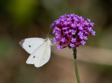 Cabbage White male_MG_0055.jpg