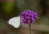Cabbage White male_MG_0058.jpg