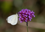 Cabbage White male _MG_0059.jpg