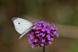 Cabbage White male_MG_0063.jpg