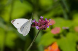 Cabbage White male_MG_7041.jpg