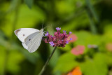 Cabbage White male_MG_7043.jpg