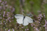 Cabbage White courtship _MG_3821.jpg
