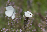 Cabbage White courtship _MG_3823.jpg
