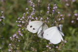 Cabbage White courtship _MG_3847.jpg