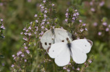 Cabbage White courtship _MG_3848.jpg