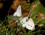 Cabbage White courtship _S9S1298.jpg