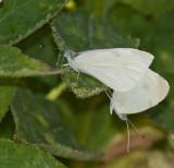 Cabbage Whites mating _MG_1226.jpg