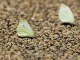 Cabbage White _H9G5990.jpg